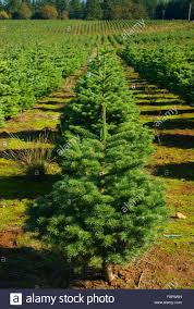 christmas tree farm polk county oregon stock photo royalty free