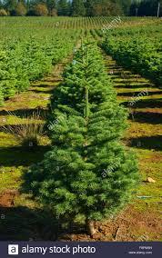 christmas tree farm polk county oregon stock photo royalty free