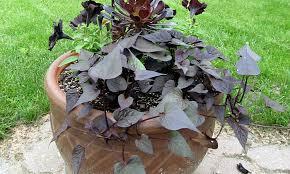 sweet potato vine grow and care for ipomoea batatas