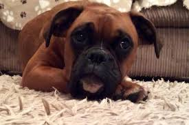 boxer dog yorkshire terminally ill puppy to be helped after fundraising bike ride