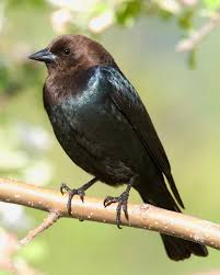 Nc Backyard Birds Brown Headed Cowbird Whatbird Com