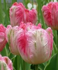 pretty princess tulips bulbs mid season tulip bulbs buy tulips