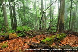 european forests photo an forests arkive