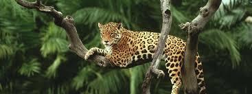 google images of thanksgiving jaguar species wwf