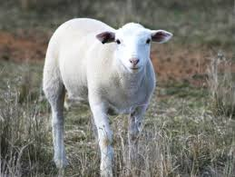 why you should you buy spring lamb in season cleaver u0027s organic