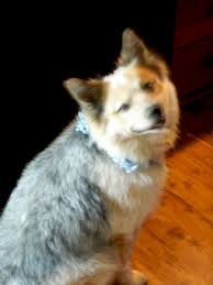 care for american eskimo dog trey an american eskimo australian cattle dog mix