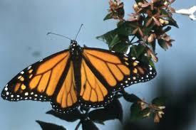 wanderer butterfly australian museum