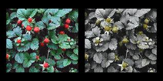 Green Red Color Blind Red Green Colorblind Comparison Pictures Album On Imgur