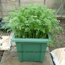 growing carrots in plant containers makes for easy cultivation