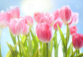tulips flowers tulips flowers on blue sky and sun stock photo picture and