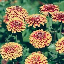 zinnia seeds 108 top zinnias annual flower seeds