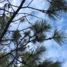 pine tree needles trees brown ask an expert