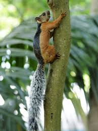 southern meadows a masked face fox squirrel sometimes called the