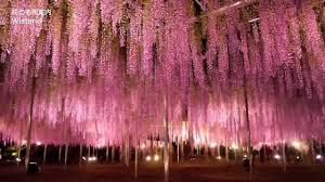 japan flower tunnel wisteria tunnel japan youtube