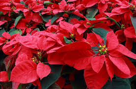 Pointsettia How To Grow And Rebloom Poinsettias Mnn Mother Nature Network