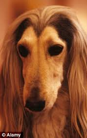 afghan hound mandarin quentin letts election what election mandy u0027s having a ball