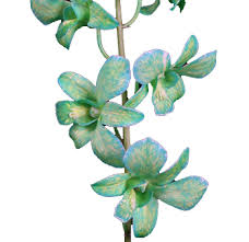 Dendrobium Orchid Order Bulk Green Dendrobium Orchid At Wholesale Prices