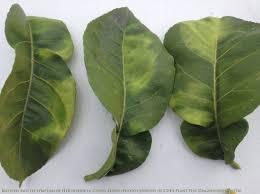Plant Diseases With Pictures - cdfa u003e hlb huanglongbing hlb quarantine information