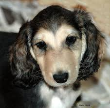 afghan hound least intelligent 88 best i love afghans images on pinterest afghan hound afghans