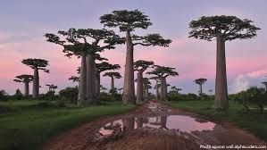 interesting facts about baobab trees just facts