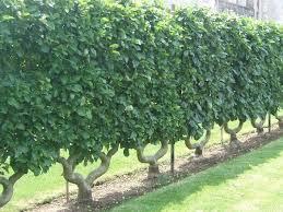 25 best hedges images on pinterest hedges garden ideas and garden