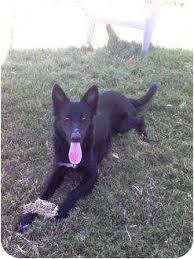 belgian shepherd x greyhound patterson ca belgian shepherd meet gillie a dog for adoption