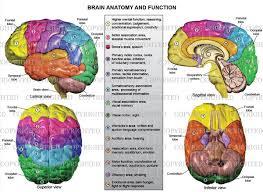 Image Of Brain Anatomy Brain Anatomy Diagram On Healthfavo Com Health Medicine And