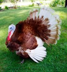 heritage turkeys food denver