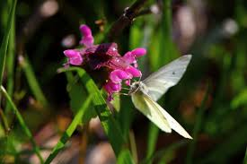 white butterfly pink wildflower wildlife free nature pictures