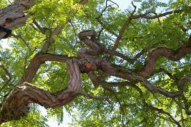 White Oak Tree Bark Free Images Nature Branch Silhouette Light Structure Wood