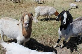 Get Your Goat Rentals by Benefits Rent A Goat