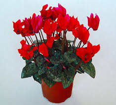 flowering house plants picture quiz about houseplants both