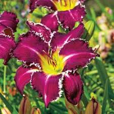 reblooming daylilies reblooming sun perennials daylilies snaggle tooth daylily