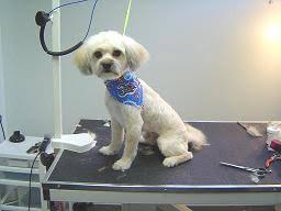 shih poo haircuts barrie dog grooming testimonials dog groomers barrie
