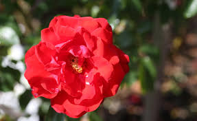 fifteen of the best roses for perth gardens the west australian
