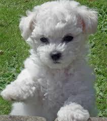 poodle vs bichon frise harvey the bichon frise puppies daily puppy