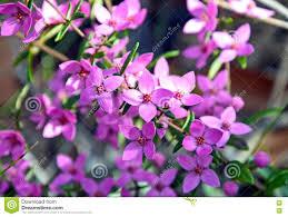 purple flowering australian native plants pink flowers of australian native boronia stock photo image