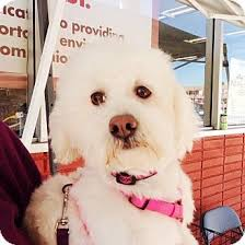 bichon frise dog breeders 42 best adoptable pups images on pinterest dogs for adoption