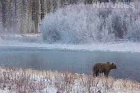 Teh Yakon possible return to the bears of the yukon natureslens