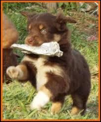 australian shepherd 6 weeks old bandit u0027s spring litter 1 pup7 bet blue eyed red tri female