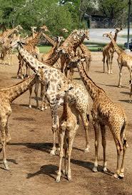 imagenes de amistad jirafas jirafas hermosas en el parque imagen de archivo imagen de animales