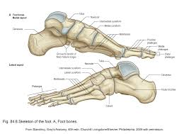 Anatomy Of A Foot Applied Anatomy Of The Lower Leg Ankle And Foot Clinical Gate
