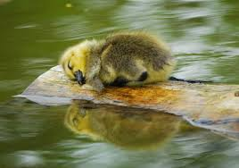 family of ducks were swimming 32463 animal