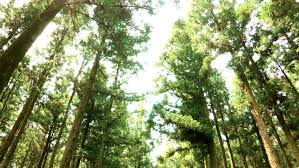 gorgeous trees on jeju island stock footage 2424656