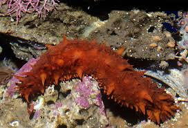 giant sea cucumber eats with its u2013 national geographic