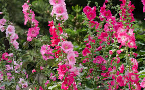 hollyhock flowers hollyhock growing guide complete guide on care and maintenance