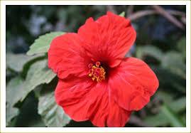 indian nursery flowering plants bugambilia crape