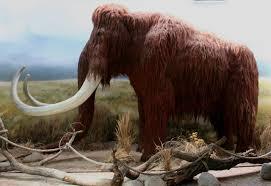 mammuthus primigenius woolly mammoth image biolib cz