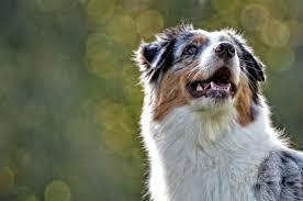australian shepherd uk dev u2013 wispafete kennels