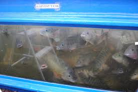 tilapia fish aquaponics and earth